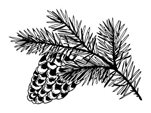 pine-cone-sosna-szyszka